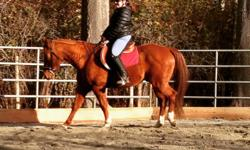 Super fun and forward gelding for lease. 14.3hh QH gelding. Natural Horsemanship trained. Western and English Tack available for use. Great on the trails and roads, comfortable riding out with others or on his own. Next to the galloping goose for miles of