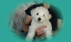 PURE BICHON FRISE PUPS,2F,READY TO GO,VET CHECKED,1ST SHOTS,DEWORMED,NON-SHEDDING,BEING YARD TRAINED,FED HOLISTIC PET FOOD,604-820-0194