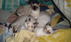 I Have three Ragdoll X Tortoiseshell  Point Siamese Kittens for sale. Two females and one male. All are about 3 1/2 months old now. and ready to go. I will sell two $100 each or $175 for two.
