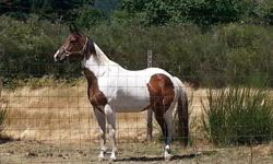Reg. Paint mare Very pretty sweet mare, 15.2H, 9yrs old Great ground manners, Wonderful pleasure mount. Goes Eng. and Western Ring, Road, Trails Easy to ride but is a very responsive horse. Smart and Sensible, no kick, bolt, bite Healthy and Sound, Great