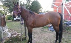 Registered Paint (Solid) Mare 8 years old, 16.1HH Goes English or Western Ring, road, trails. No kick, buck, bolt, bite Great feet, healthy, sound. Good with farrier UTD on everything Trailers, clips, bathes Experienced rider. Serious Inquiries Only.