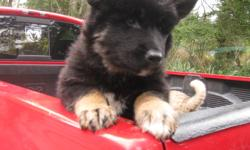 Hello I have one female shepherd husky cross puppy for sale. she just turned 9 weeks old. she has been vet checked, dewormed and have had her first shots and has been health checked and verified. You can view both parents. This puppy is very gentle and