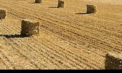 Just got a load of 400 Straw bales (chopped wheat straw) that would be great for various uses from Gardening to horse bedding. Call /text to order or arrange a pickup time Mike 778-678-1111