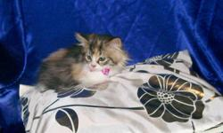 We have 3 little angels that are looking to find good homes.  These little babies love to cuddle and play.  They are litter box trained and they have been dewormed.  There is 2 little boys, the orange one  (he is very fluffy and very cute) and the gray