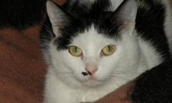 Breed: Domestic Short Hair-black and white   Age: Young   Sex: F   Size: M Mozza got her name because she was found outside of a Pizza Hut! She is a sweet and somewhat shy girl. We are guessing she's about 1 year old and is in good health. Mozza would do